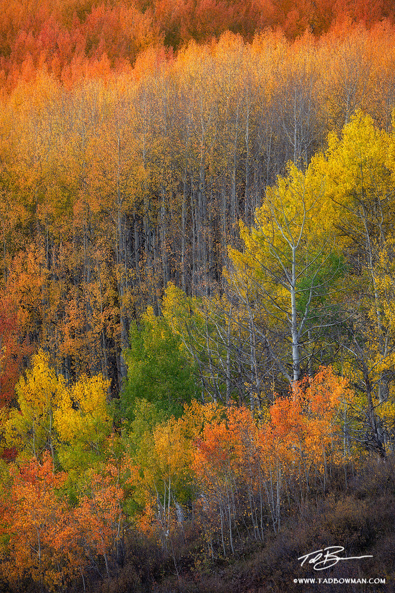 This Colorado fall photo depicts layers of colorful aspen trees situated in the Gunnison National Forest
