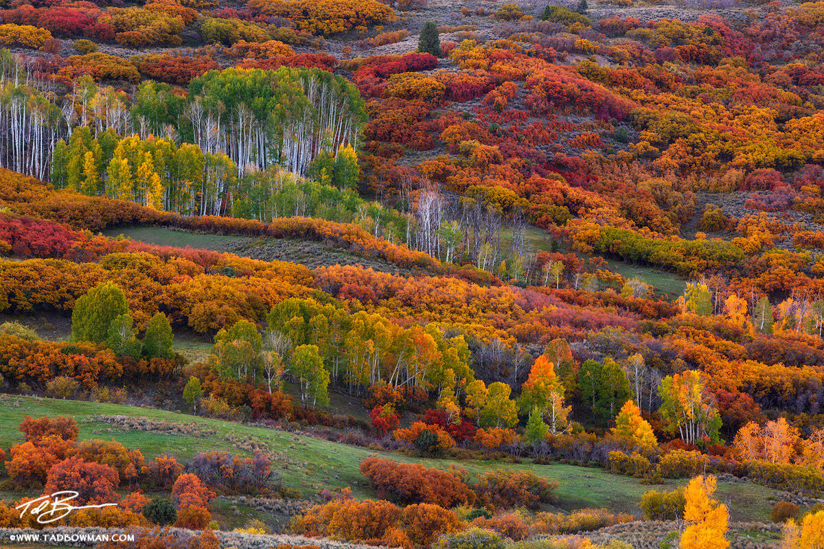 This Colorado fall photo depicts a mixture of aspen trees and scrub oak demonstrating a plethora of colors