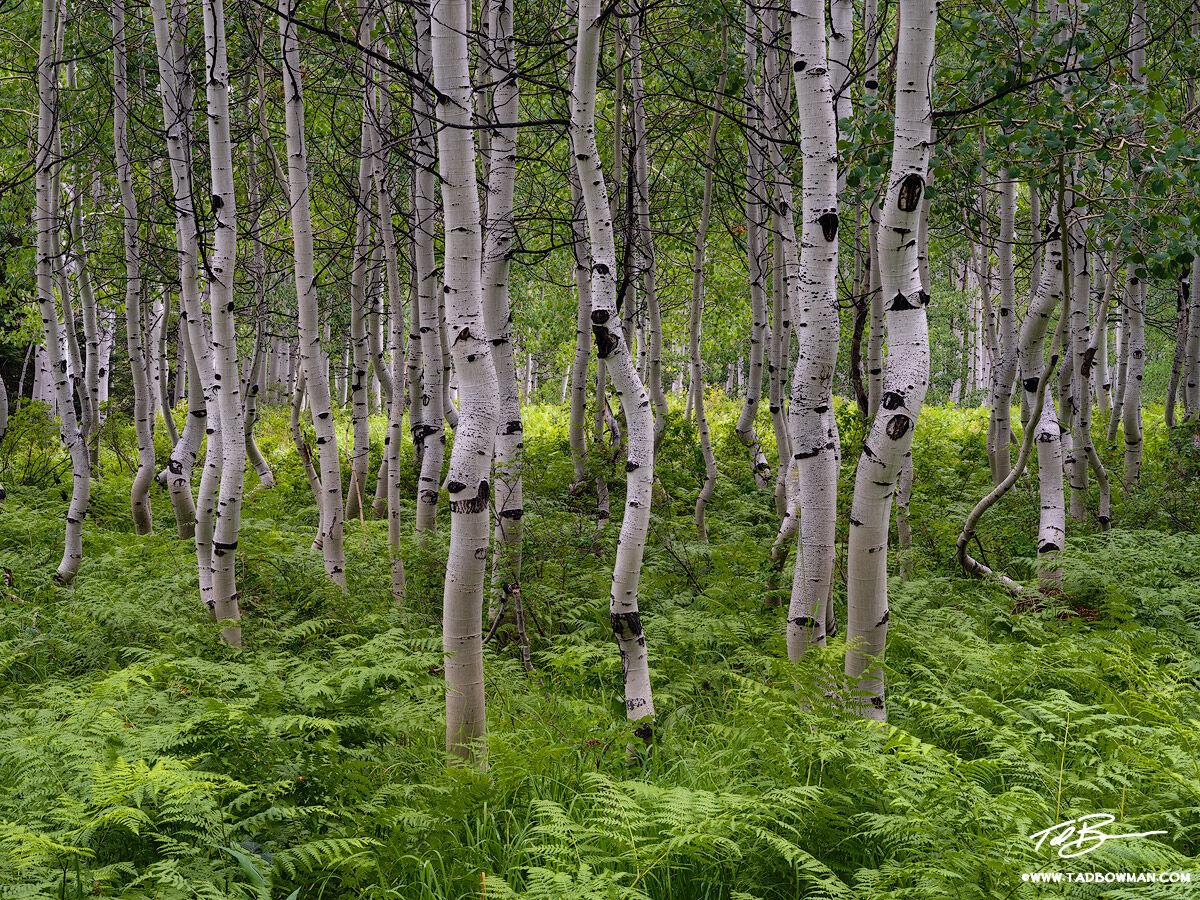 Colorado, Aspens, Aspen, Colorado Aspen Tree photos, tree, trees, aspen trees, green, ferns, summer,aspen tree photos, photo