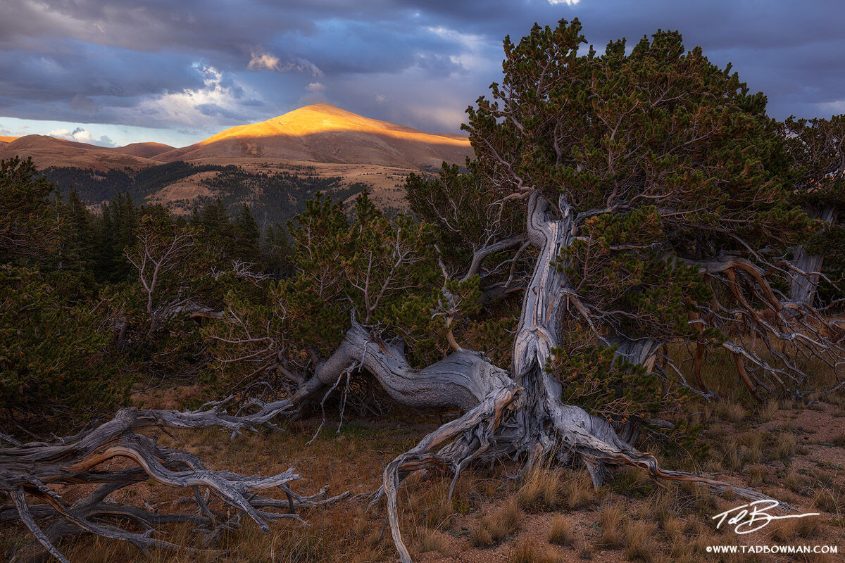 Colorado, Mount Silverheels,silverheels, pike national forest, bristlecone trees, tree,colorado mountain photos,sunset,orange,pictures,image,mount silverheels photos,summer,pine tree,bristlecone,storm, photo