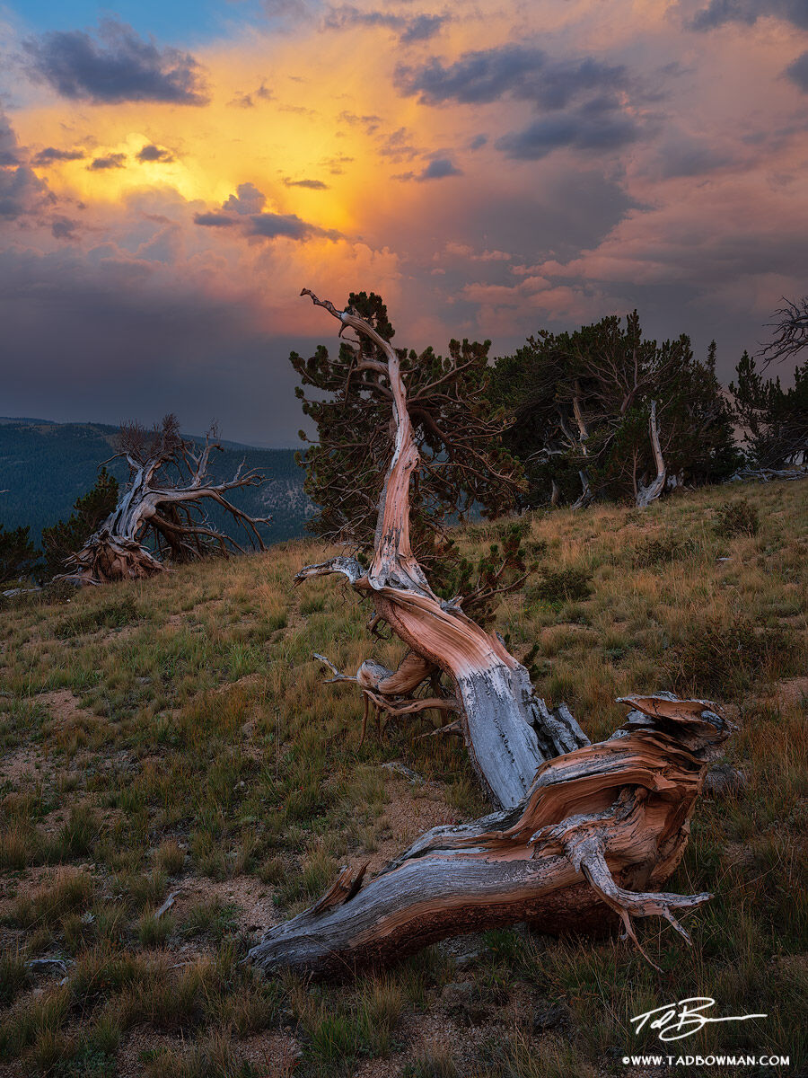 Colorado,sunset,bristlecone pine, Tree, trees, tree photos,tree pictures,tree images,stormy,colorful,drama,bristlecone tree photographs, photo