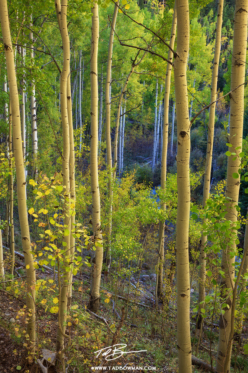 Colorado,fall,autumn,autumnal,fall foliage,fall colors, aspen tree photo,aspen tree photos,aspen tree picture,forest, San Juan National forest,aspens,aspen tree images, photo