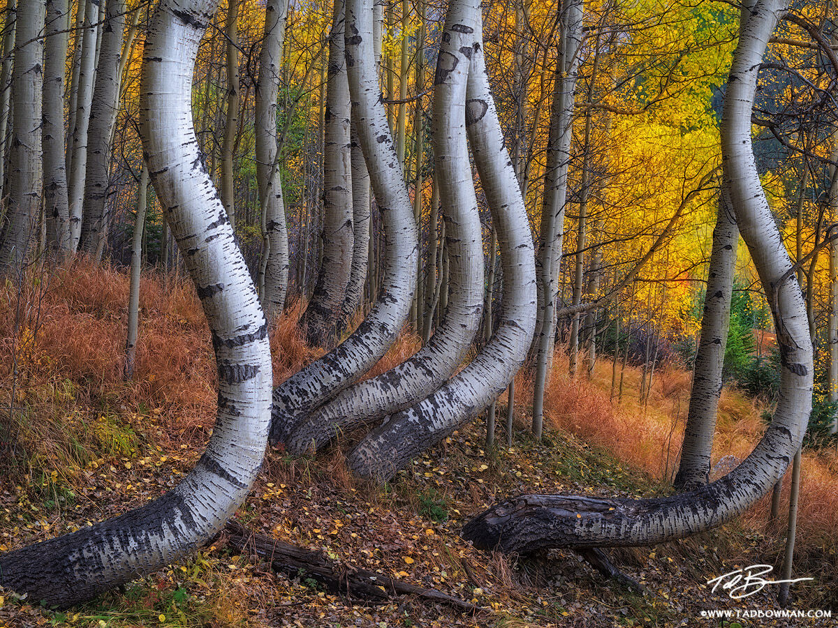 Colorado,twisted aspens,aspen image,aspen tree photos,bole,boles,forest,wilderness,unique,yellow,gold,colorado fall foliage photos,colorado fall photos, photo